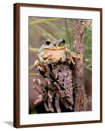 Pacific Tree Frog, Umatilla National Forest, Oregon, USA-Gavriel Jecan-Framed Photographic Print