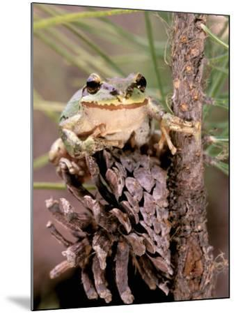 Pacific Tree Frog, Umatilla National Forest, Oregon, USA-Gavriel Jecan-Mounted Photographic Print