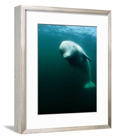 Beluga Whale, St. Lawrence River-Nick Caloyianis-Framed Photographic Print