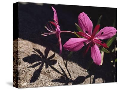 Dwarf Fireweed Flower Blooming in Alaska's Arctic National Wildlife Refuge-George F^ Mobley-Stretched Canvas Print