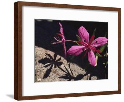 Dwarf Fireweed Flower Blooming in Alaska's Arctic National Wildlife Refuge-George F^ Mobley-Framed Photographic Print