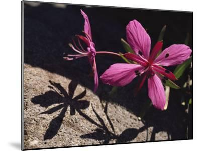 Dwarf Fireweed Flower Blooming in Alaska's Arctic National Wildlife Refuge-George F^ Mobley-Mounted Photographic Print