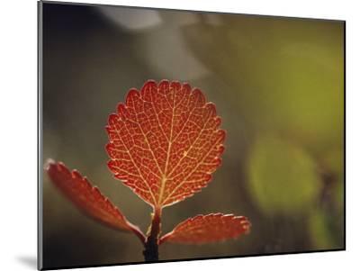 Leaf, Sheenjek River Valley, Arctic National Wildlife Refuge, Alaska-George F^ Mobley-Mounted Photographic Print