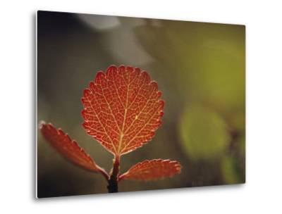 Leaf, Sheenjek River Valley, Arctic National Wildlife Refuge, Alaska-George F^ Mobley-Metal Print