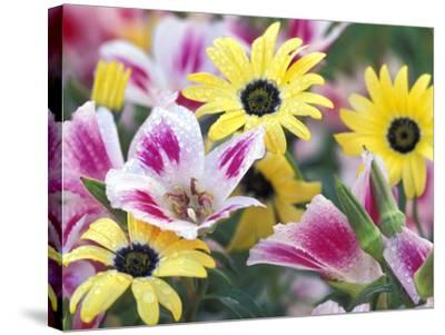 Daisy Flower Design, Portland, Oregon, USA-Darrell Gulin-Stretched Canvas Print