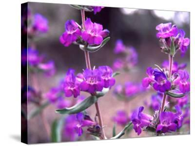 Cascade Penstemon in Painted Hills National Monument, Oregon, USA-Terry Eggers-Stretched Canvas Print