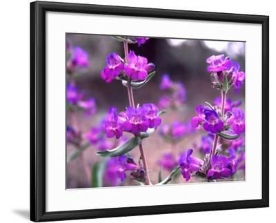 Cascade Penstemon in Painted Hills National Monument, Oregon, USA-Terry Eggers-Framed Photographic Print