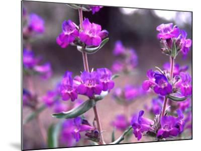 Cascade Penstemon in Painted Hills National Monument, Oregon, USA-Terry Eggers-Mounted Photographic Print