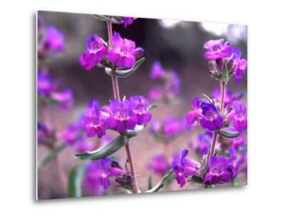 Cascade Penstemon in Painted Hills National Monument, Oregon, USA-Terry Eggers-Metal Print
