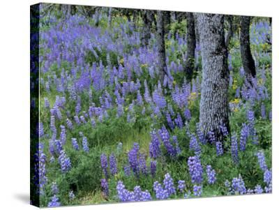 Lupine and White Oak in the Columbia Gorge, Oregon, USA-Chuck Haney-Stretched Canvas Print