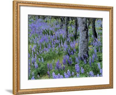 Lupine and White Oak in the Columbia Gorge, Oregon, USA-Chuck Haney-Framed Photographic Print