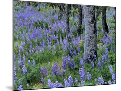 Lupine and White Oak in the Columbia Gorge, Oregon, USA-Chuck Haney-Mounted Photographic Print