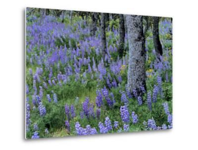 Lupine and White Oak in the Columbia Gorge, Oregon, USA-Chuck Haney-Metal Print