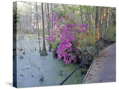 Cypress Trees and Azaleas at Magnolia Plantation, Charleston, South Carolina, USA-Julie Eggers-Stretched Canvas Print