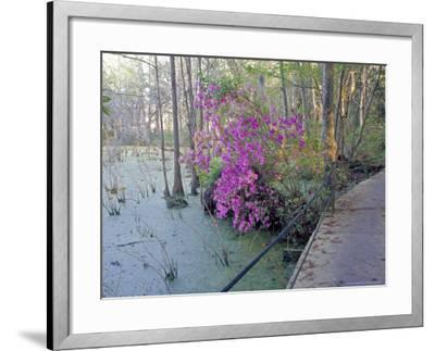 Cypress Trees and Azaleas at Magnolia Plantation, Charleston, South Carolina, USA-Julie Eggers-Framed Photographic Print