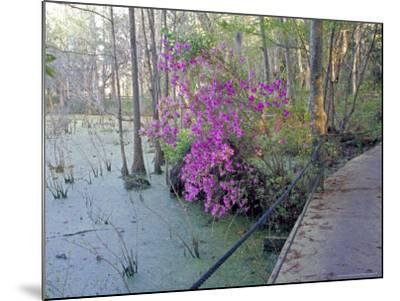 Cypress Trees and Azaleas at Magnolia Plantation, Charleston, South Carolina, USA-Julie Eggers-Mounted Photographic Print