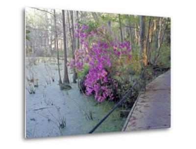 Cypress Trees and Azaleas at Magnolia Plantation, Charleston, South Carolina, USA-Julie Eggers-Metal Print