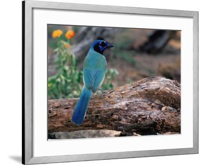 Green Jay, Texas, USA-Dee Ann Pederson-Framed Photographic Print