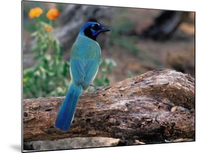 Green Jay, Texas, USA-Dee Ann Pederson-Mounted Photographic Print