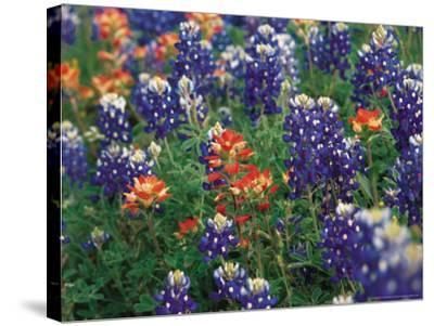 Bluebonnets and Paintbrush, Hill Country, Texas, USA-Dee Ann Pederson-Stretched Canvas Print