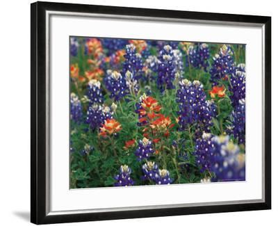 Bluebonnets and Paintbrush, Hill Country, Texas, USA-Dee Ann Pederson-Framed Photographic Print