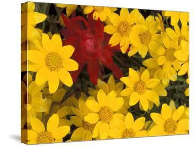 Paintbrush and Yellow Daisies, Box Canyon Creek, Cascades, Washington, USA-Darrell Gulin-Stretched Canvas Print