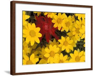 Paintbrush and Yellow Daisies, Box Canyon Creek, Cascades, Washington, USA-Darrell Gulin-Framed Photographic Print