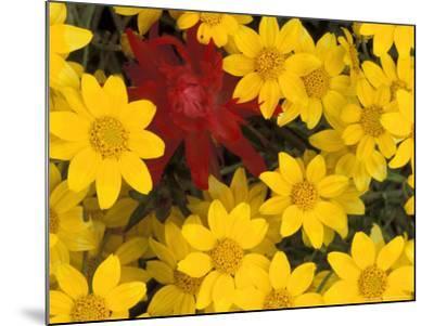 Paintbrush and Yellow Daisies, Box Canyon Creek, Cascades, Washington, USA-Darrell Gulin-Mounted Photographic Print