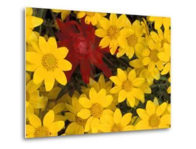 Paintbrush and Yellow Daisies, Box Canyon Creek, Cascades, Washington, USA-Darrell Gulin-Metal Print