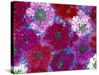 Verbena Floating Flowers, Sammamish, Washington, USA-Darrell Gulin-Stretched Canvas Print