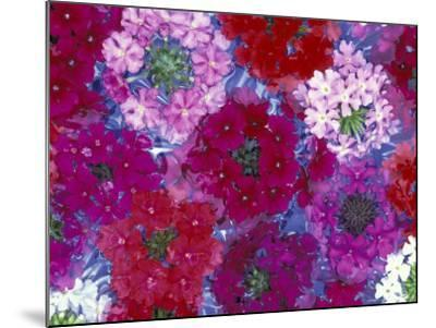 Verbena Floating Flowers, Sammamish, Washington, USA-Darrell Gulin-Mounted Photographic Print