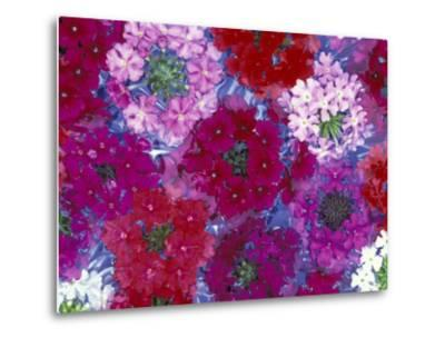 Verbena Floating Flowers, Sammamish, Washington, USA-Darrell Gulin-Metal Print