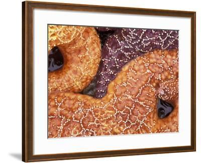 Sea Stars Detail, Shi Shi Beach, Olympic National Park, Washington, USA--Framed Photographic Print