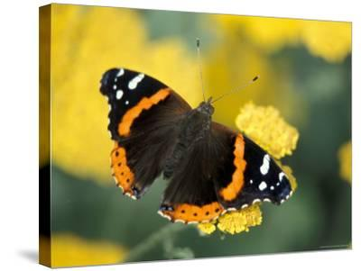 Red Admiral on Butterfly Bush Leaf, Woodland Park Zoo, Washington, USA--Stretched Canvas Print