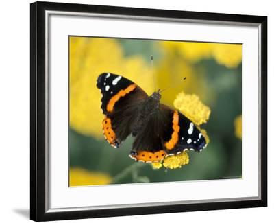 Red Admiral on Butterfly Bush Leaf, Woodland Park Zoo, Washington, USA--Framed Photographic Print