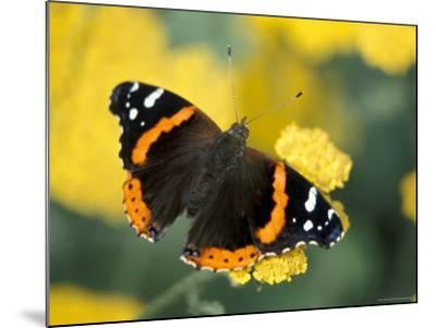 Red Admiral on Butterfly Bush Leaf, Woodland Park Zoo, Washington, USA--Mounted Photographic Print