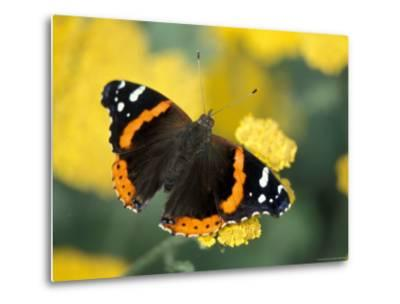 Red Admiral on Butterfly Bush Leaf, Woodland Park Zoo, Washington, USA--Metal Print