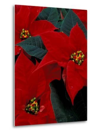 Red Poinsettia, Washington, USA--Metal Print