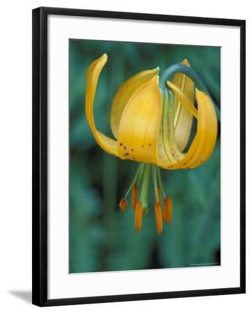 Tiger Lily, Olympic National Park, Washington, USA-William Sutton-Framed Photographic Print