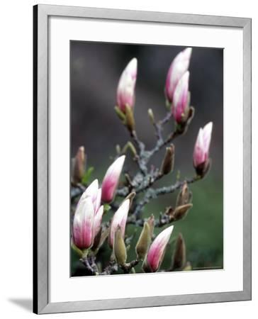 Tulip Magnolia Blossom, Washington Park Arboretum, Seattle, Washington, USA-William Sutton-Framed Photographic Print