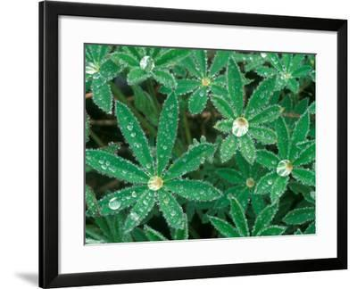 Dew Drops on Blooming Lupine, Olympic National Park, Washington, USA-Rob Tilley-Framed Photographic Print