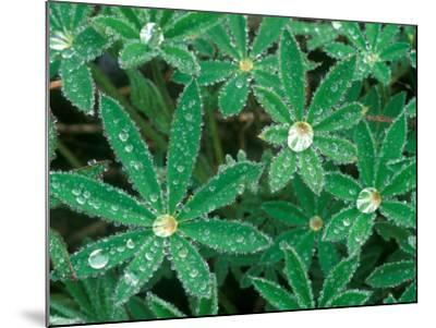Dew Drops on Blooming Lupine, Olympic National Park, Washington, USA-Rob Tilley-Mounted Photographic Print