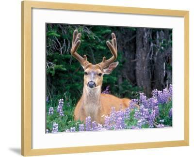 Black-Tailed Deer, Olympic National Park, WA USA-Steve Kazlowski-Framed Photographic Print