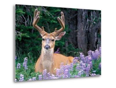 Black-Tailed Deer, Olympic National Park, WA USA-Steve Kazlowski-Metal Print