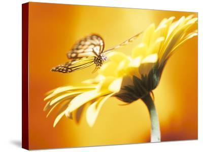 Beautiful Monarch Butterfly on Blooming Daisy--Stretched Canvas Print
