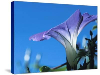 Close-up of Blooming Morning Glory--Stretched Canvas Print