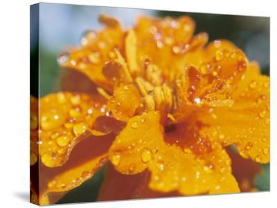 Dew on Blooming Orange Flower--Stretched Canvas Print