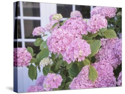 Hydrangeas and a Window--Stretched Canvas Print