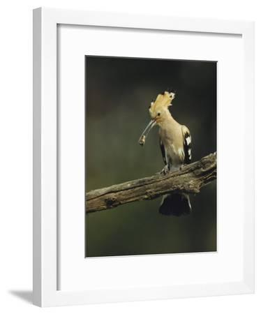 Hoopoe with an Insect in its Bill Perched on a Tree Limb-Klaus Nigge-Framed Photographic Print