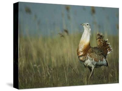 Prairie Chicken Strutting Through a Field of Tall Grass-Klaus Nigge-Stretched Canvas Print